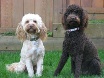 Our Labradoodles