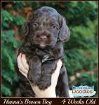 Hanna's Brown Boy 4 Wks