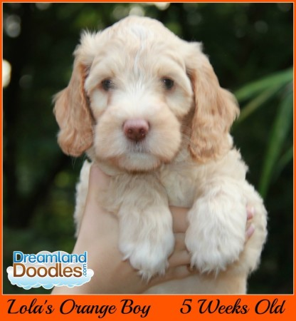 Labradoodle Puppies Available from Dreamland Doodles